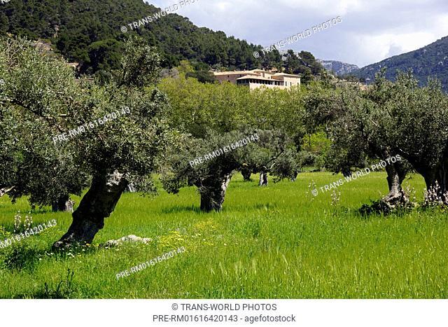 Olive grove, Farmhouse near Valldemossa, Mallorca, Spain / Olivenhain, Bauernhaus bei Valldemossa, Mallorca, Spanien
