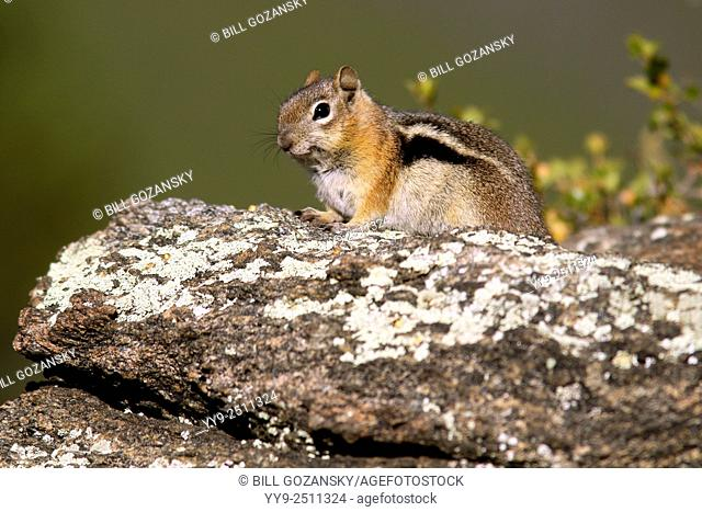 Golden-Mantled Ground Squirrel - Rocky Mountain National Park, Estes Park, Colorado, USA