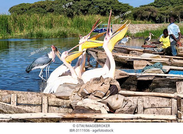 White pelicans (Pelecanus onocrotalus) begging for fish, Awasa harbor, Awasa, Ethiopia