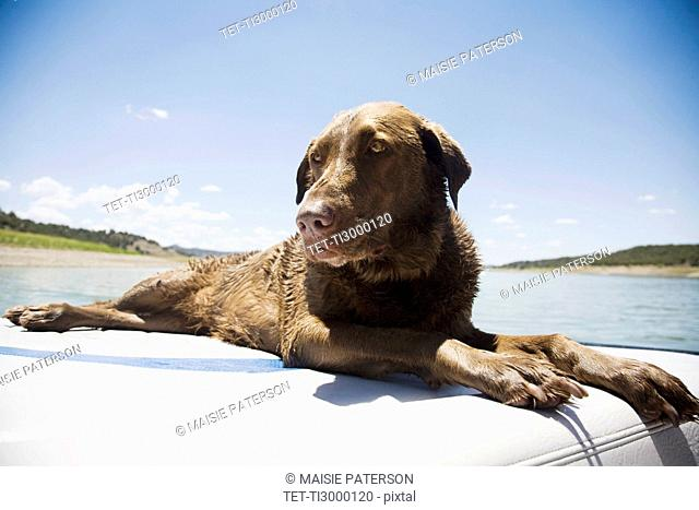 Chocolate Labrador dog resting on back of boat