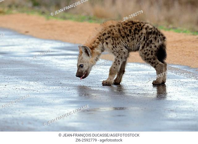 Spotted hyena (Crocuta crocuta), cub, licking the wet road, after the rain, Kruger National Park, South Africa, Africa