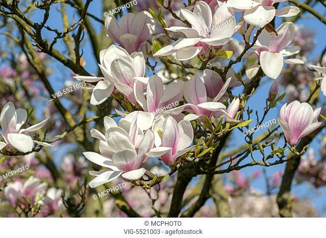 DEUTSCHLAND, STUTTGART, 28.03.2014, Tulpen-Magnolie (Magnolia Ã¿ soulangeana) - Stuttgart,Germany, 28/03/2014