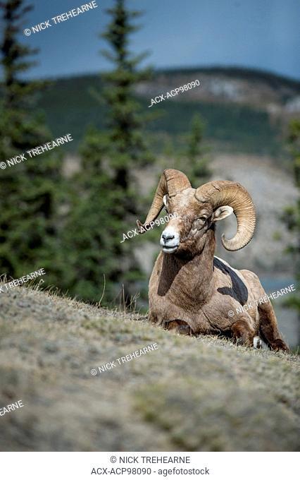 Male, Ram, Bighorn Sheep, Ovis canadensis, Rocky Mountains, Alberta, Canada