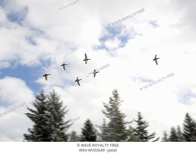 Ducks in flight, Whistler, BC Canada