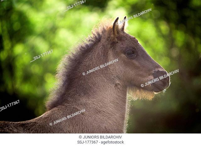 Icelandic Horse. Portrait of a foal