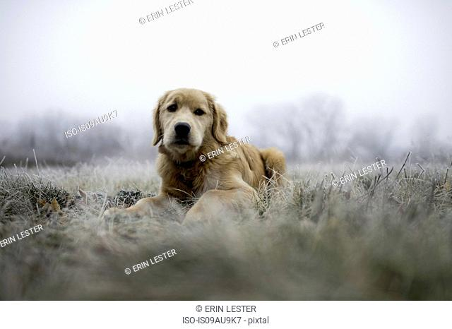 Surface level view of golden retriever lying in field on frosty morning looking at camera