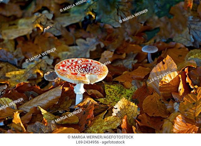 Fly agaric, Amanita muscaria between autumn leaves, Schleswig-Holstein, Germany, Europe