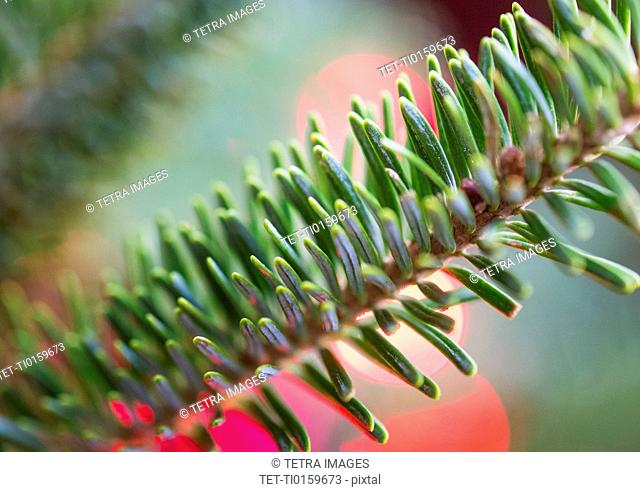 Detail of evergreen tree