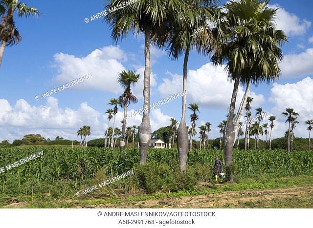 Corn farm, Cuba