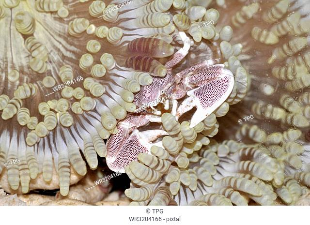 Neopetrolisthes maculatus