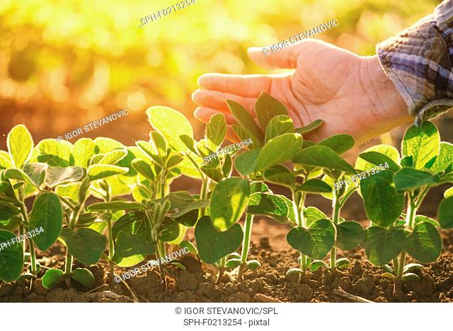 Young soy bean plants