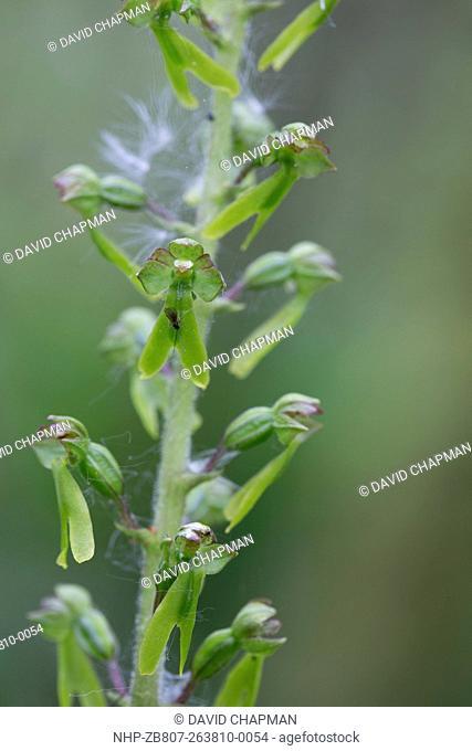 Common Twayblade Listera ovata Cornwall; UK