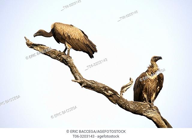 White backed Vulture perched on branch (Gyps africanus), South Luangwa National Park, Zambia