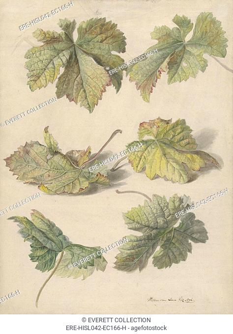 Studies of Vine Leaves, by Willem van Leen, 1796, Dutch painting, watercolor and pencil on paper. Realist watercolor of grape vine leaves by flower painter