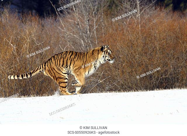 Siberian Tiger Panthera tigris altaica captive adult male, critically endangered Bozeman, Montana