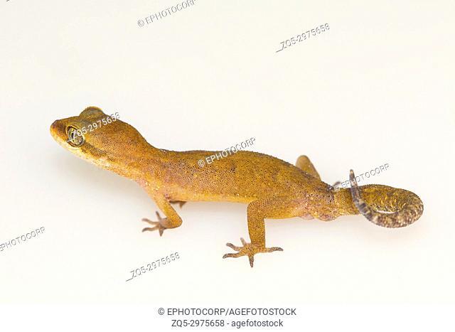 Clouded ground gecko, Cyrtodactylus nebulosus. Visakhapatnam, Andhra Pradesh, India