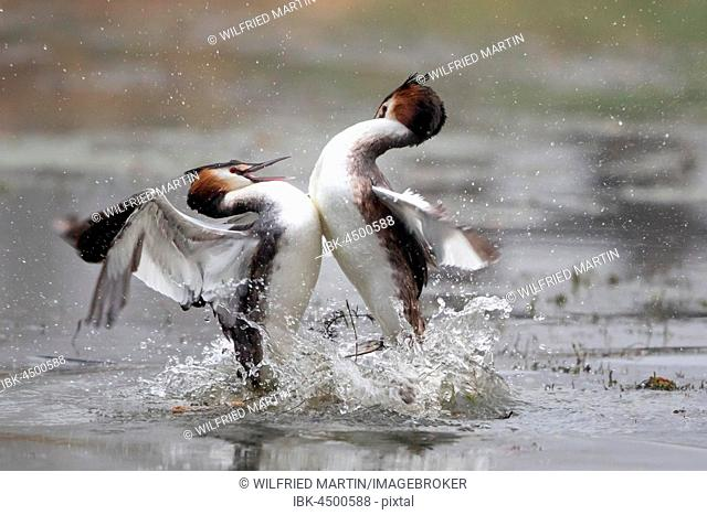 Great crested grebes (Podiceps cristatus) fighting, fight over territory, Hesse, Germany