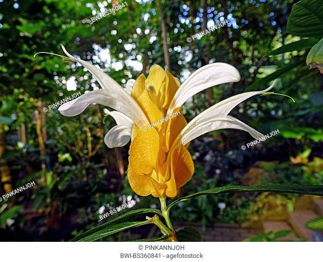 Golden Candle, Lollipop Plant, Golden Shrimp Plant (Pachystachys lutea), inflorescence