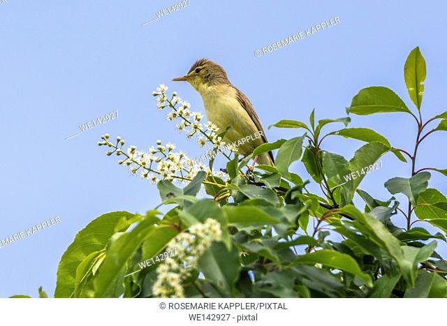 Germany, saarland, homburg - A singing melodious warbler on a shrub