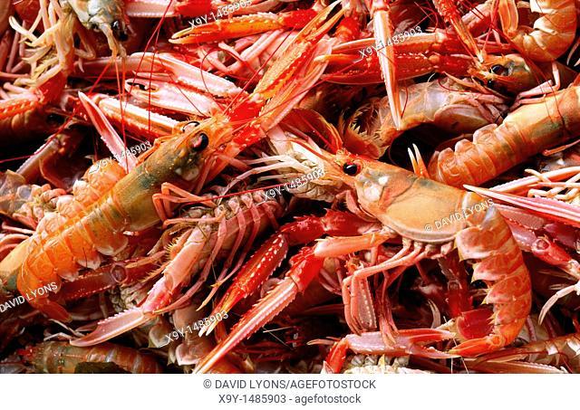 Freshly caught internationally celebrated Loch Fyne prawns, langoustine, known locally as queenies  West coast Scotland, UK