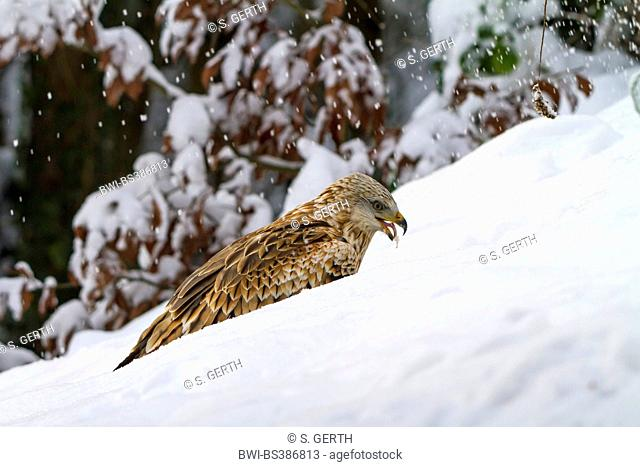 red kite (Milvus milvus), sitting in a snowy landscape and feeding, Switzerland, Sankt Gallen