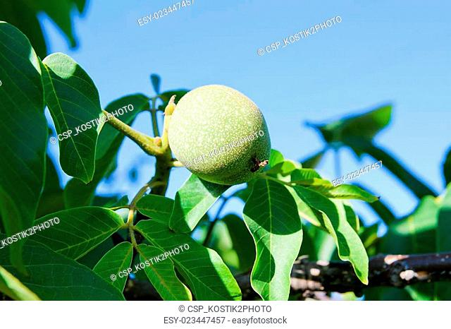 Green walnuts are growing on the tree