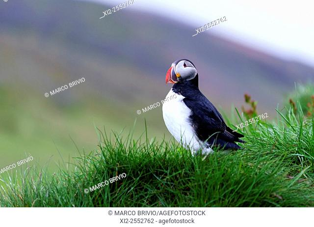 Puffins in Borgarfjordur Eystri. Puffins are any of three small species of alcids auks in the bird genus Fratercula with a brightly coloured beak during the...