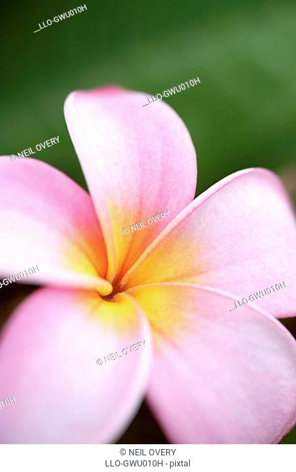 Close-up of a Frangipani Plumeria rubra Against a Green Background  Prince Albert, Karoo, Western Cape Province, South Africa