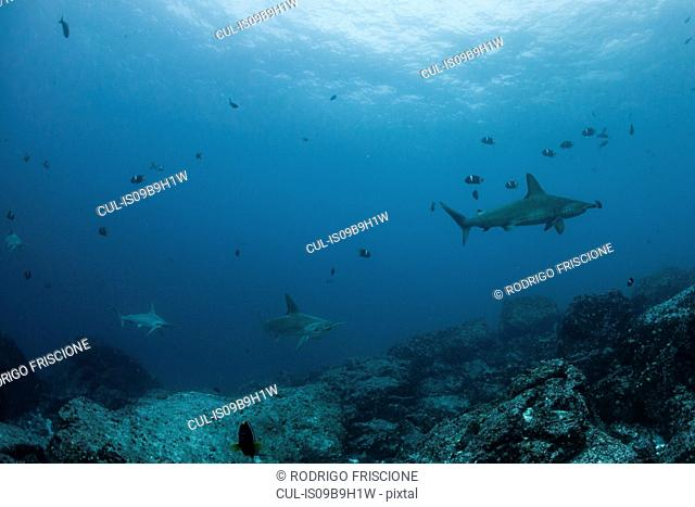 Sharks and fish by seabed, Seymour, Galapagos, Ecuador, South America