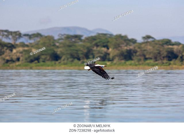 hawk flying over the water