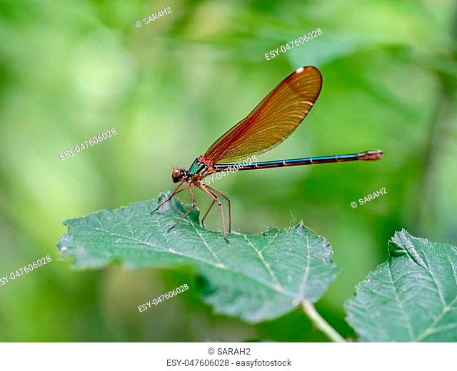 The beautiful demoiselle, Calopteryx virgo, is a European damselfly belonging to the family Calopterygidae. Female here