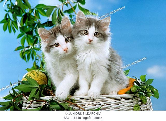 two young norwegian forest cats sitting on a basket