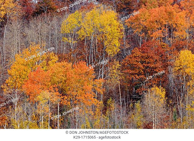 A hillside with Birch and aspen in late autumn, Greater Sudbury Whitefish, Ontario, Canada
