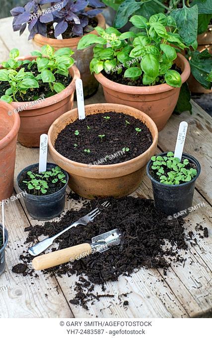Potting on herbs, potting bench with freshly transplanted basil seedlings