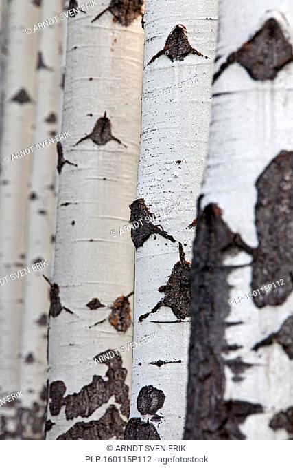 Quaking aspen / trembling aspen (Populus tremuloides), detail of tree trunks in forest, native to North America and Canada