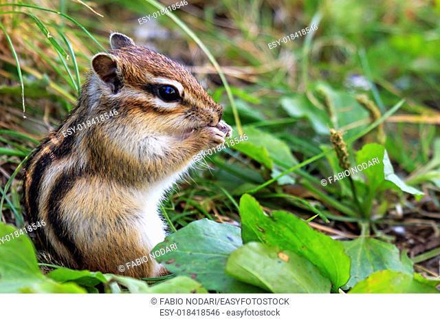 Wild chipmunk sitting on grass eating peanut