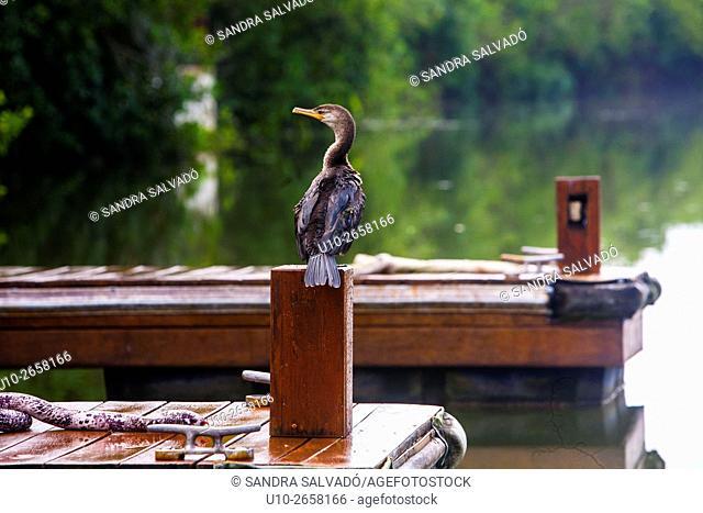 Cormorant at Mayakoba Rosewood, Riviera Maya, Quintana Roo. México