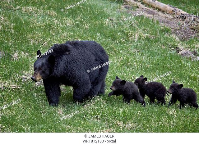Black bear (Ursus americanus) sow and three cubs of the year, Yellowstone National Park, UNESCO World Heritage Site, Wyoming, United States of America