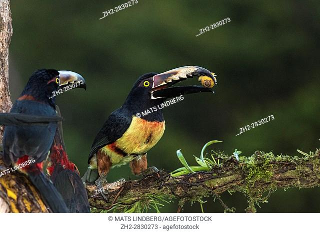 Two Collared Aracari, Pteroglossus torquatus, sitting in a tree, one having banana in the beak, the other looking at the other bird, at Laguna del Lagarto