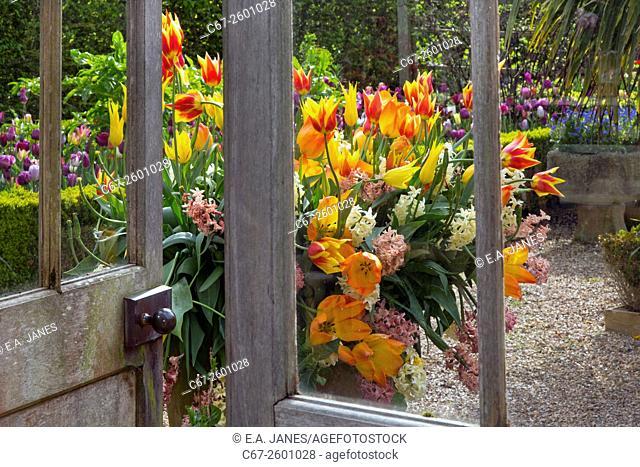 Tulips Parrot variety in flower Spring Norfolk