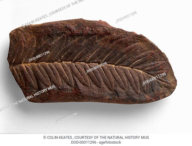 Pteridosperms - Alethopteris: Pteridosperm (Seed Fern) fossilised in ironstone nodule