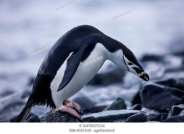 Chinstrap penguin Pygoscelis antarcticus coming out of sea, Half Moon Island, South Shetland Islands, Antarctica