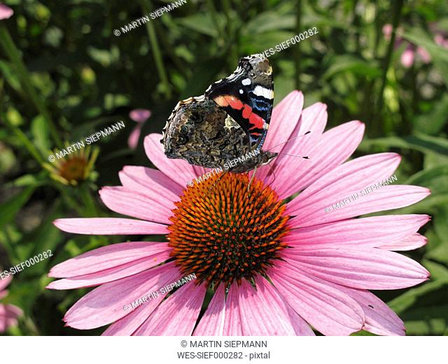 Germany, Bavaria, Red Admiral sitting on purple coneflower