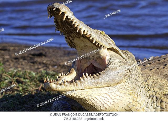 Nile crocodile (Crocodylus niloticus), gaping mouth wide open for thermoregulation, on the bank, Sunset Dam, Kruger National Park, Mpumalanga, South Africa