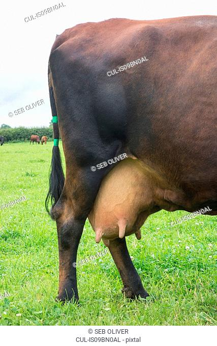 Dairy cow in field, detail of hind legs and udder