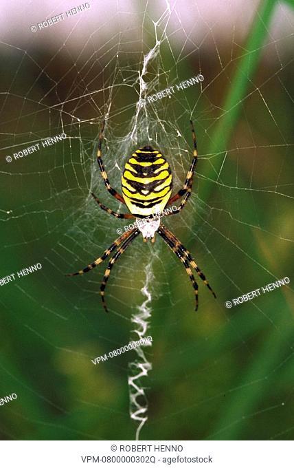 ARGIOPE BRUENNICHIORBWEB-SPIDER - WASP SPIDEREUROPE - ARGIOPIDAEIN WEB