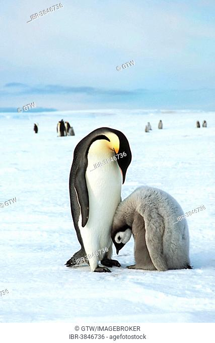 Emperor Penguins (Aptenodytes forsteri), adult with chick, Weddell Sea, Antarctica