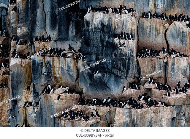 Rows of bruennich's guillemots (uria lomvia) perched on coastal cliff, Alkefjellet, Spitsbergen, Svalbard, Norway