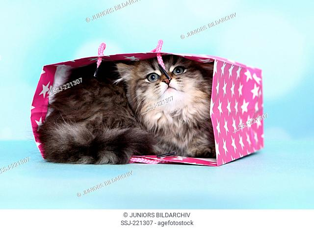 British Longhair. Kitten (8 weeks old) lying in a pink bag with white star print. Studio picture against a blue background