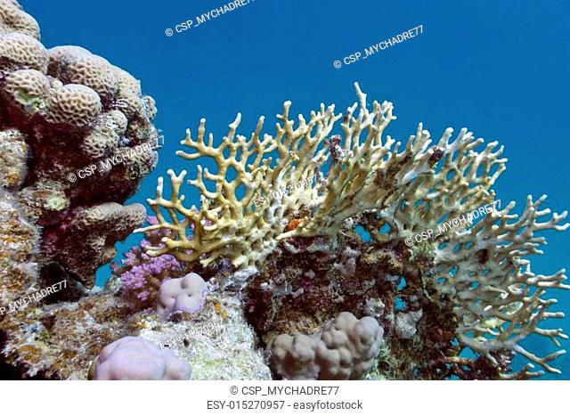 coral reef with yellow fire coral in tropical sea